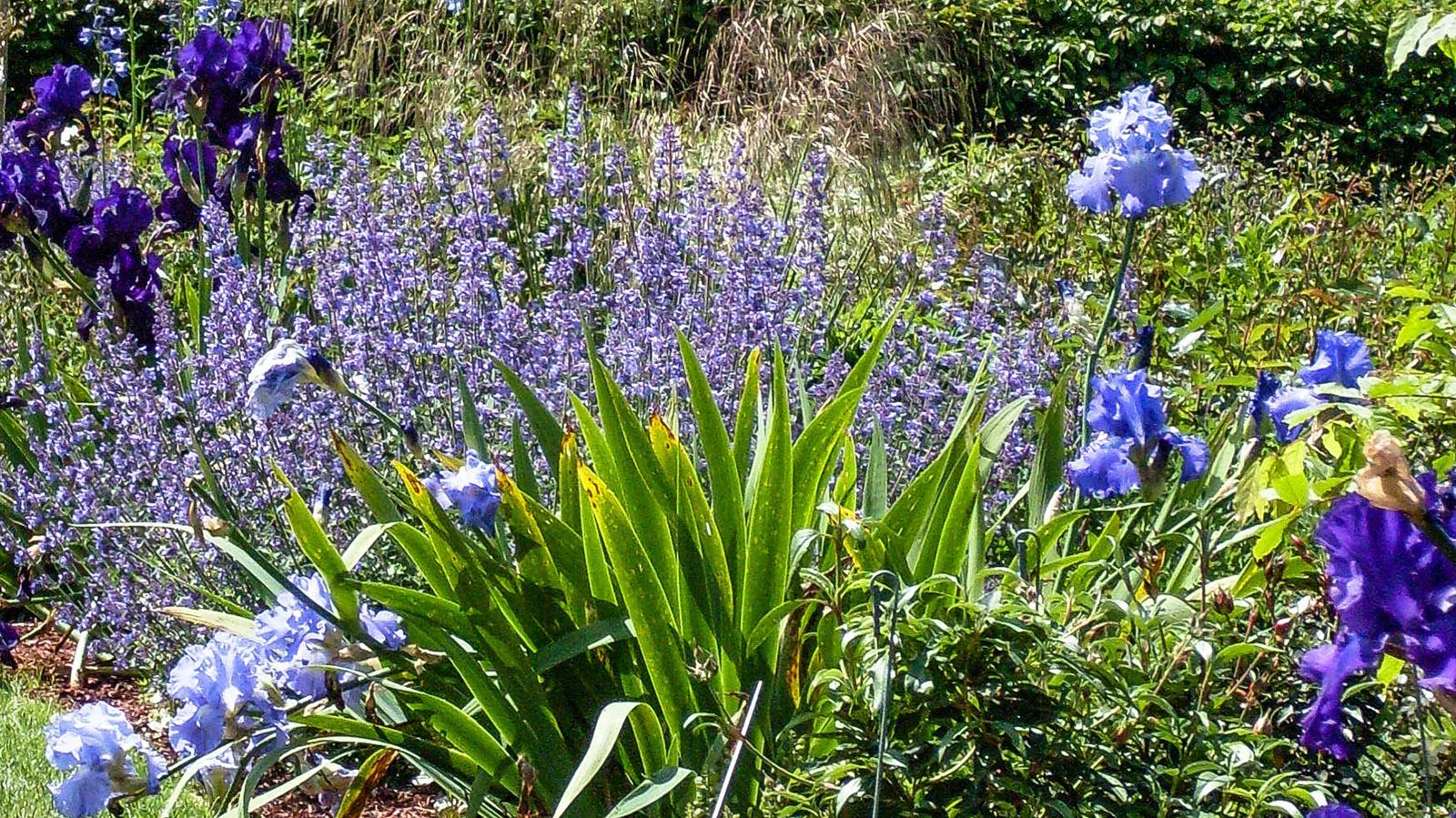 Château de Villandry: Blütenrausch in Blau. Foto: Hilke Maunder