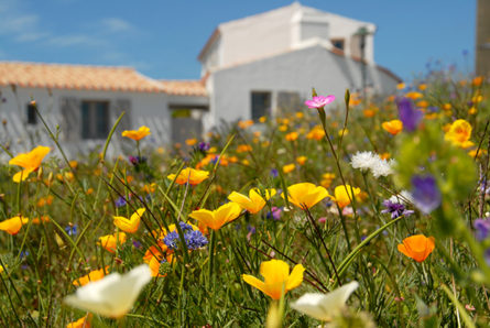 F/Vendée/Île d'Yeu/Port Joinville: Blumenwiese an der Plage de la Borgne