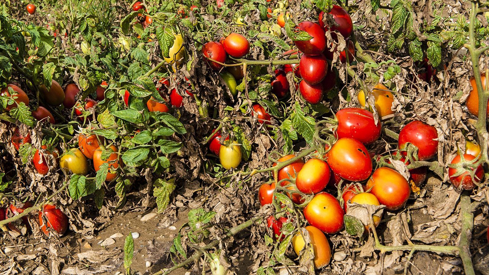 Paradefrucht im Potager: die Tomate. Tomaten. 10.000 Sorten gibt es weltweit. Foto: Hilke Maunder