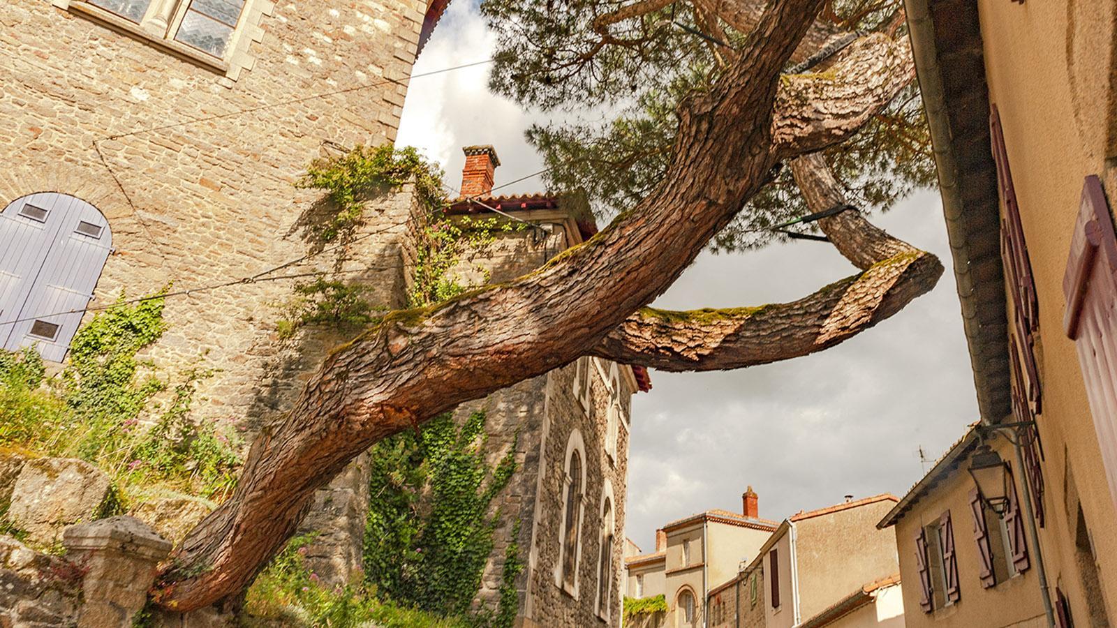 Clisson: die Pinie der Rue de la Collégiale. Foto: Hilke Maunder