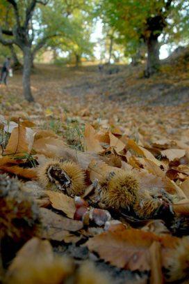 Maroni - Kastanienwald im Herbst