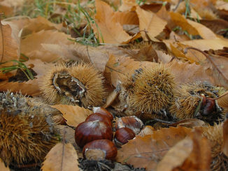 Kastanienwald im Herbst –der Boden ist bedeckt von Maronen. Foto: Hilke Maunder