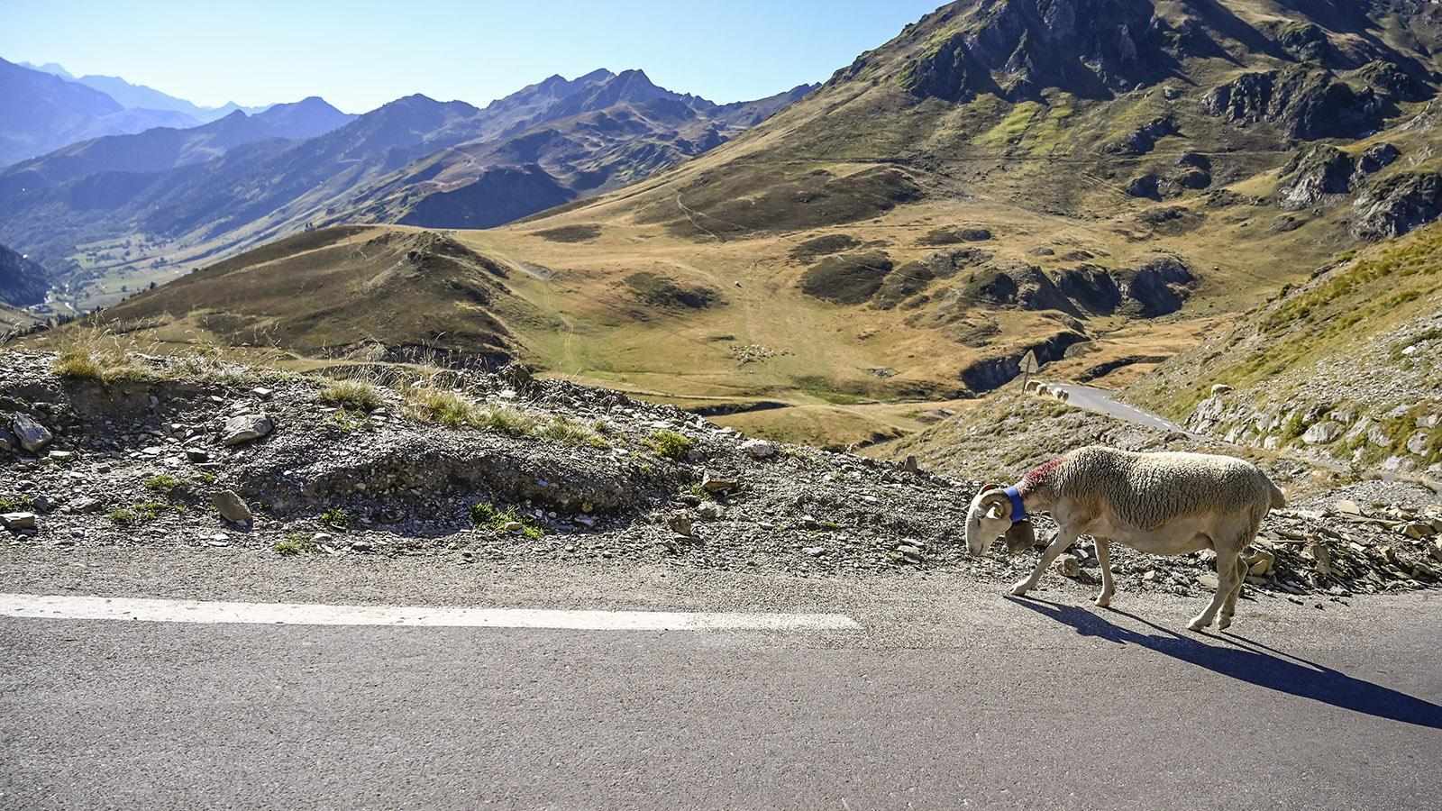 Auf der Passstraße zum Col du Tourmalet begegnen euch immer wieder freilaufenden Tiere, die dort im Sommer weiden - vor allem Schafe und Rinder. Foto: Hilke Maunder