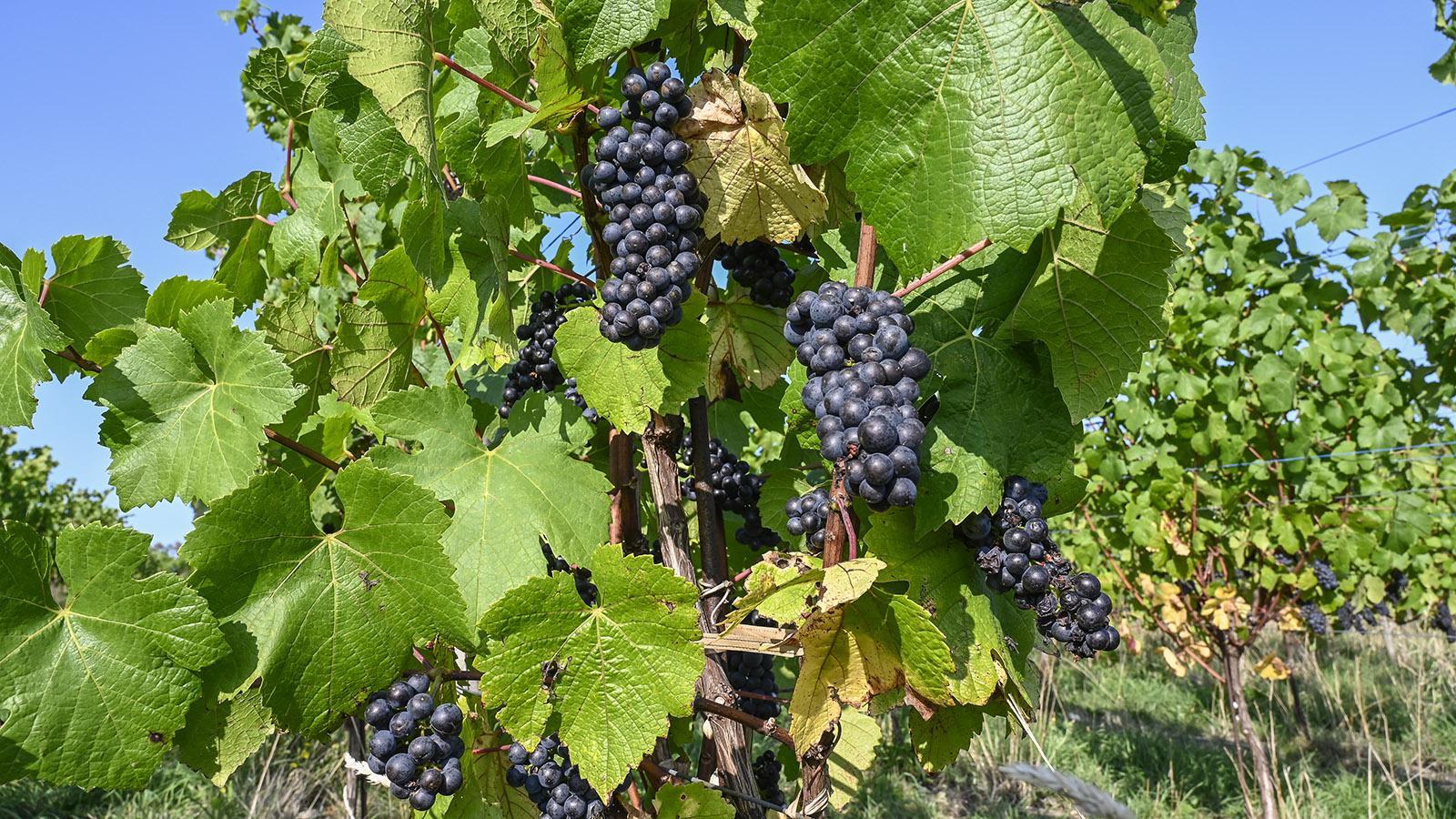 Die Rebreihen mit Pinot Noir beginnen direkt am Parkplatz der Kellerei und ziehen sich den Hang hinauf. Foto: Hilke Maunder