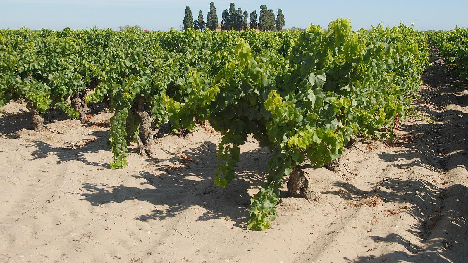 Hier wachsen die Trauben für den Vin de Sables. Foto: Hilke Maunder