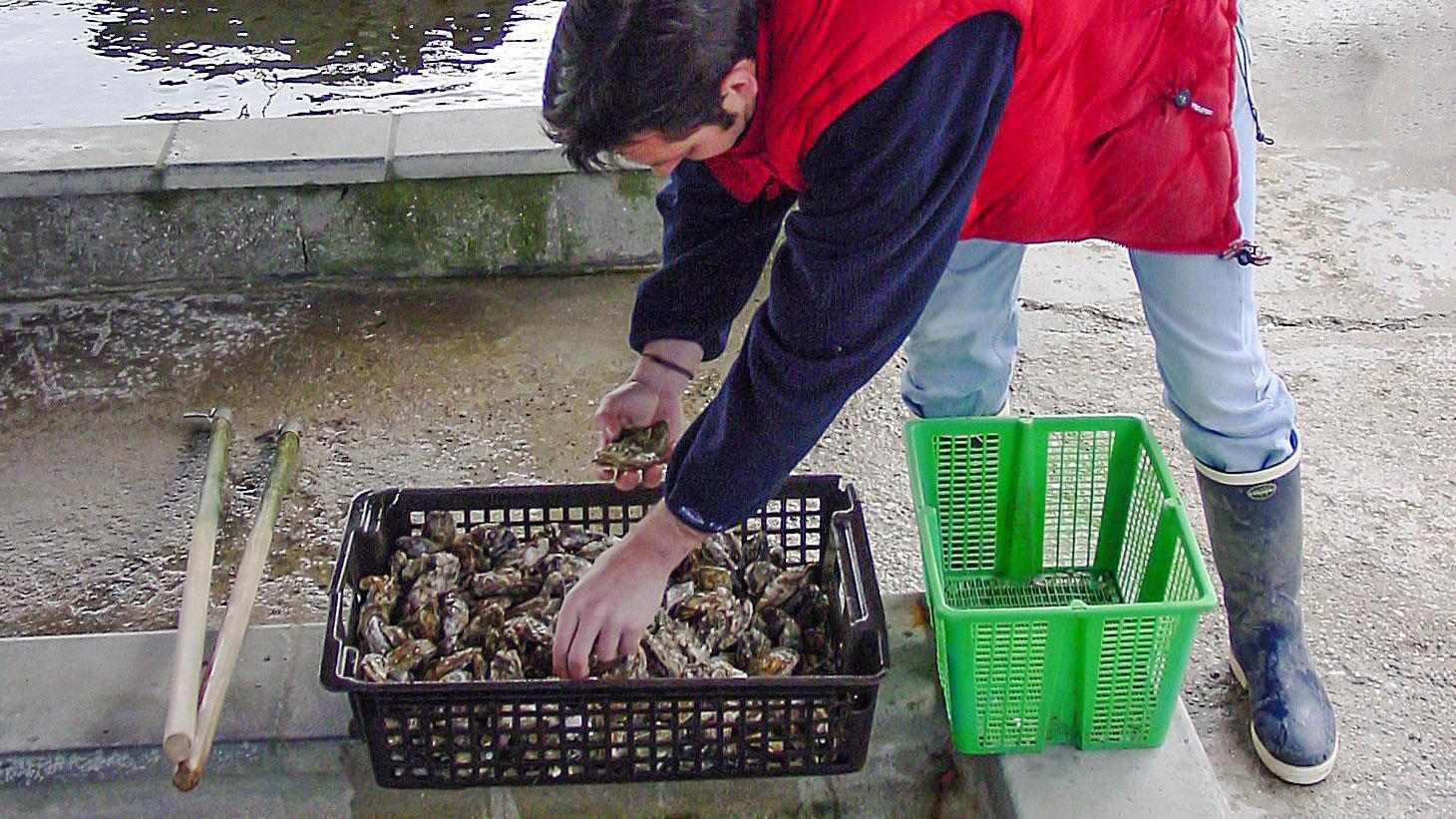 Austernzüchter Jérôme Delarue holt frische huîtres creuses aus dem vivier, dem Reinigungsbecken. Foto: Hilke Maunder