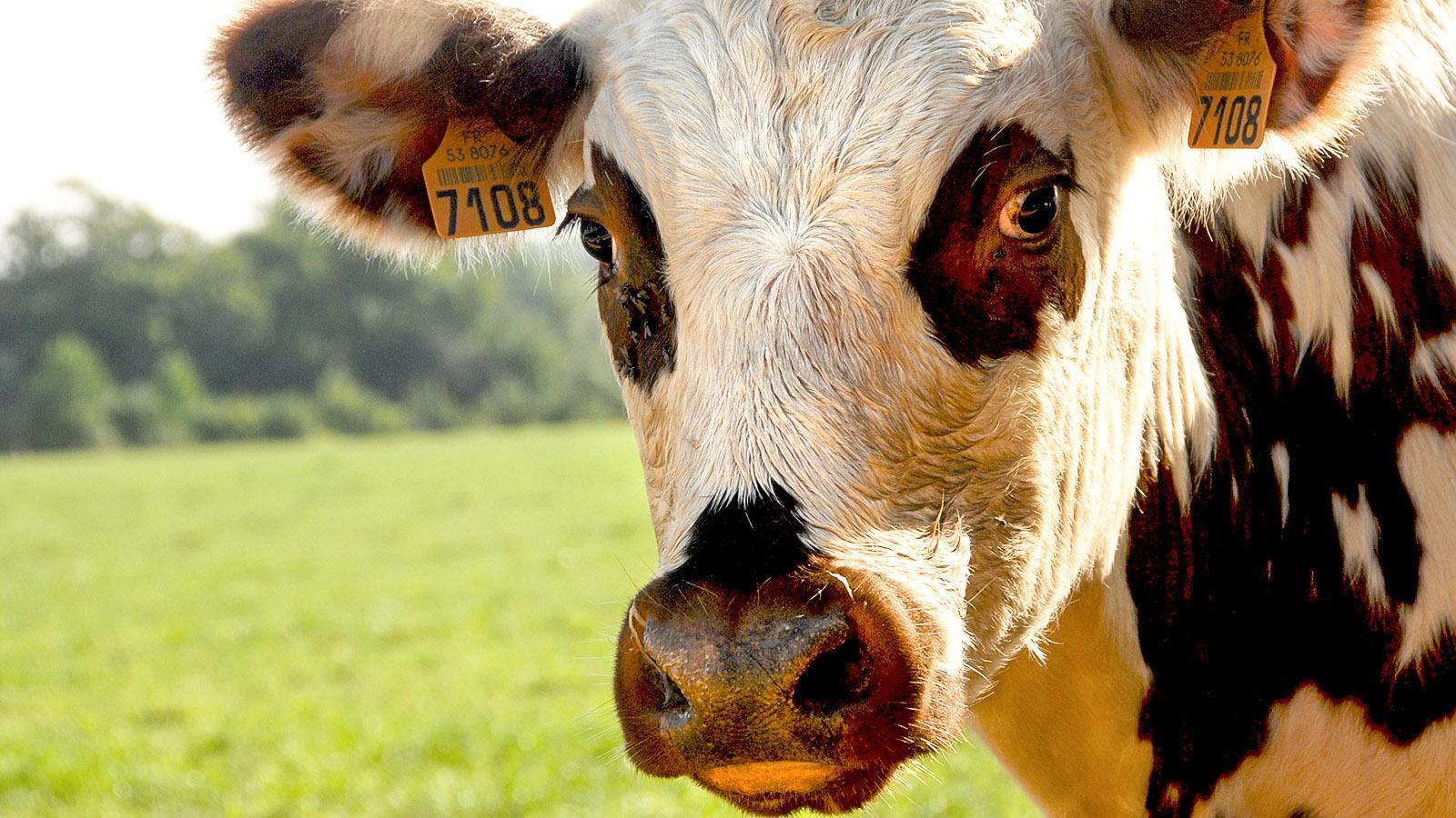 La vache normande, die Kuh der Normandie. Foto: Hilke Maunder