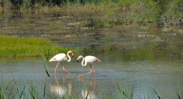 F/Provence/Bouches-du-Rhône/Camargue: beim Étang de Vaccarès, Flamingos