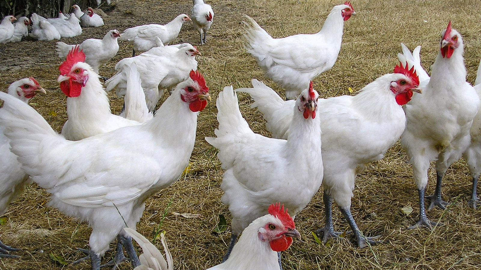 Foto: Comité interprofessionnel de la volaille de Bresse