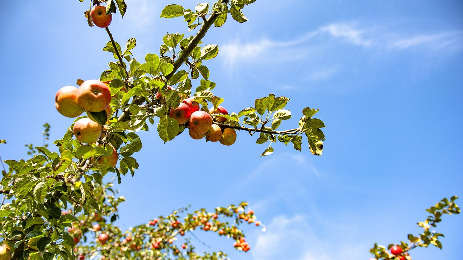 Cidre: Aus mehreren alten Apfelsorten wird Cidre komponiert. Foto: Hilke Maunder