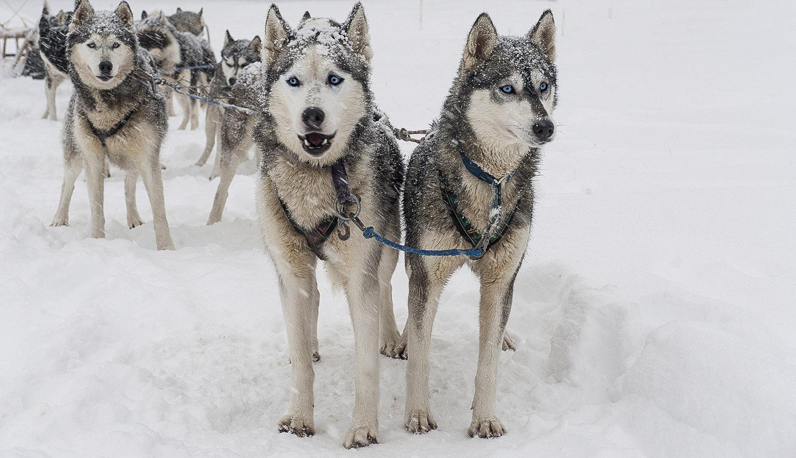 Barèges;: Huskies am Hundeschlittengespann. Foto: Hilke Maunder