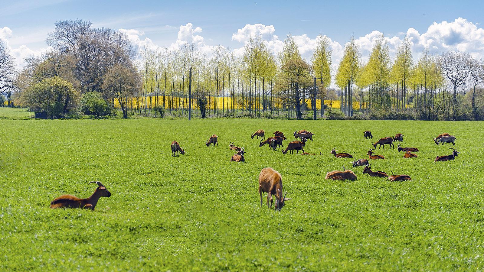 Auf den Weiden jenseits des Fort La Latte grasen Ziegen. Aus ihrer Milch entsteht ganz handwerklich köstlicher Käse. Foto: Hilke Maunder