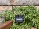 Der Rohstoff für das Getränk: Absinth - auch an der Forteresse de Salses wächst er. Foto: Hilke Maunder