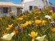 Île d'Yeu: Blumenwiese an der Plage de la Borgne. Foto: Hilke Maunder