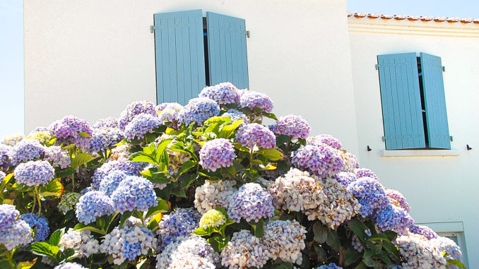 Île d'Yeu: Plage de la Borgne: Riesige Hortensien schmücken dort ein Haus. Foto: Hilke Maunder