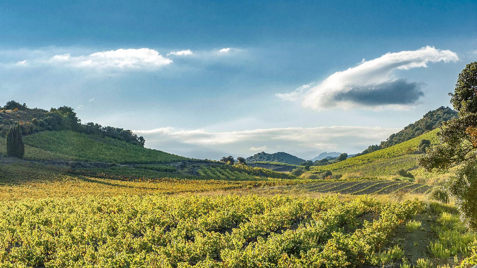 Weingärten zwischen Saint-Paul-de-Fenouillet und Maury. Foto: Hilke Maunder