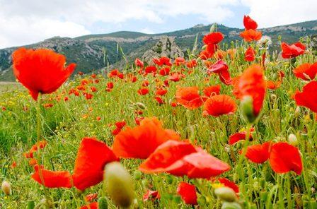 F/Languedoc-Roussillon/Pyrénées Orientales: Wiese mit Mohn in den Corbières
