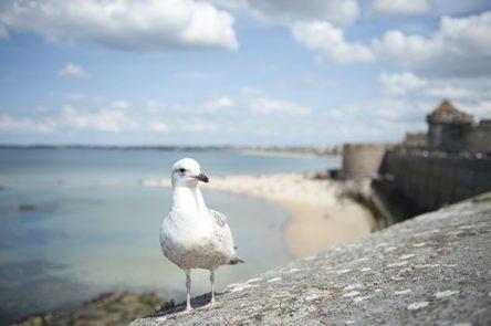 F_Bretagne_Saint Malo_Stadtmauer_Möwe_72_©Hilke Maunder