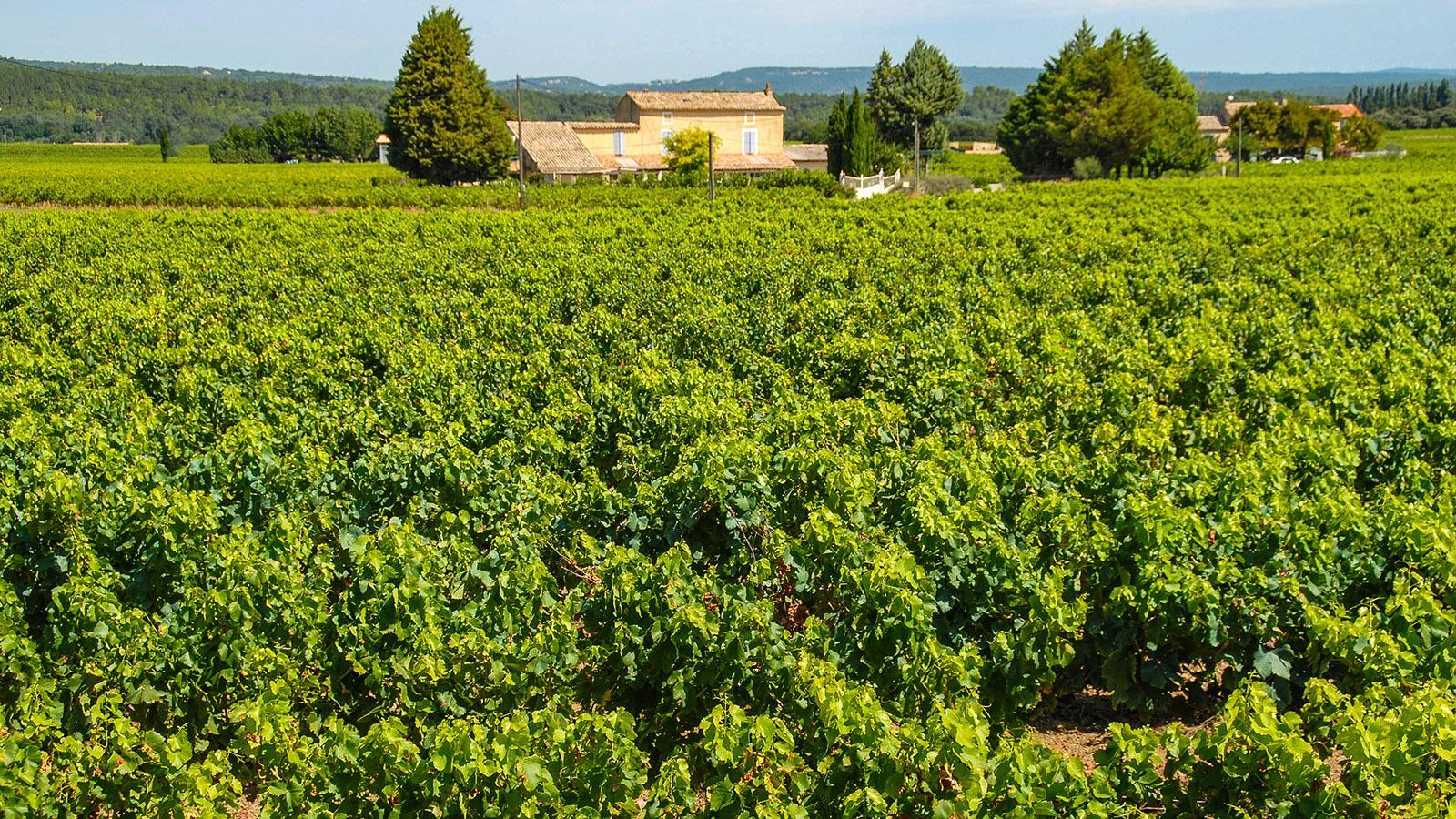 Wein wächst überall im Tricastin –auch an der Straße von Suze-la-Rousse nach Rochegude, Weinbaugebiet Tricastin (Blick gen Norden). Foto: Hilke Maunder
