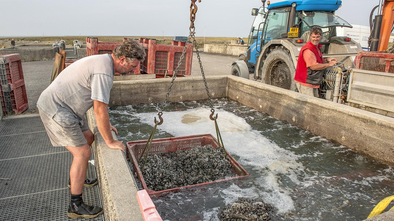 Moules de Bouchot: Die Miesmuscheln werden in verschiedenen Becken mit Süßwasser gespült. Foto: Hilke Maunder