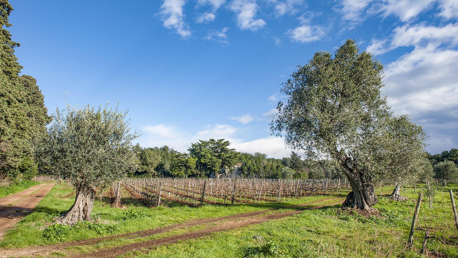 Oliven und Wein: die wirtschaftliche Grundlage der Zisterziensermönchen von Saint-Honorat seit dem 5. Jahrhundert. Foto: Hilke Maunder