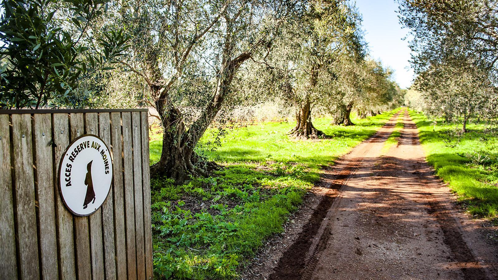 Zutritt nur für Mönche: der Olivenhain von Saint-Honorat. Foto: Hilke Maunder