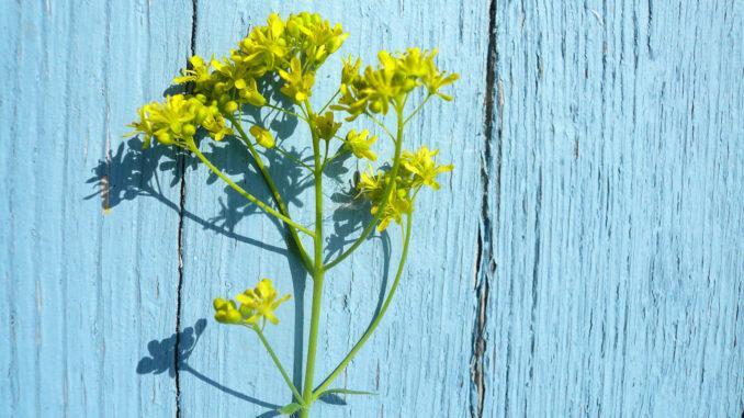 Pastel: Gelbe Blüten verwandeln sich in das Blau des Südens. Foto: Graine de Pastel.