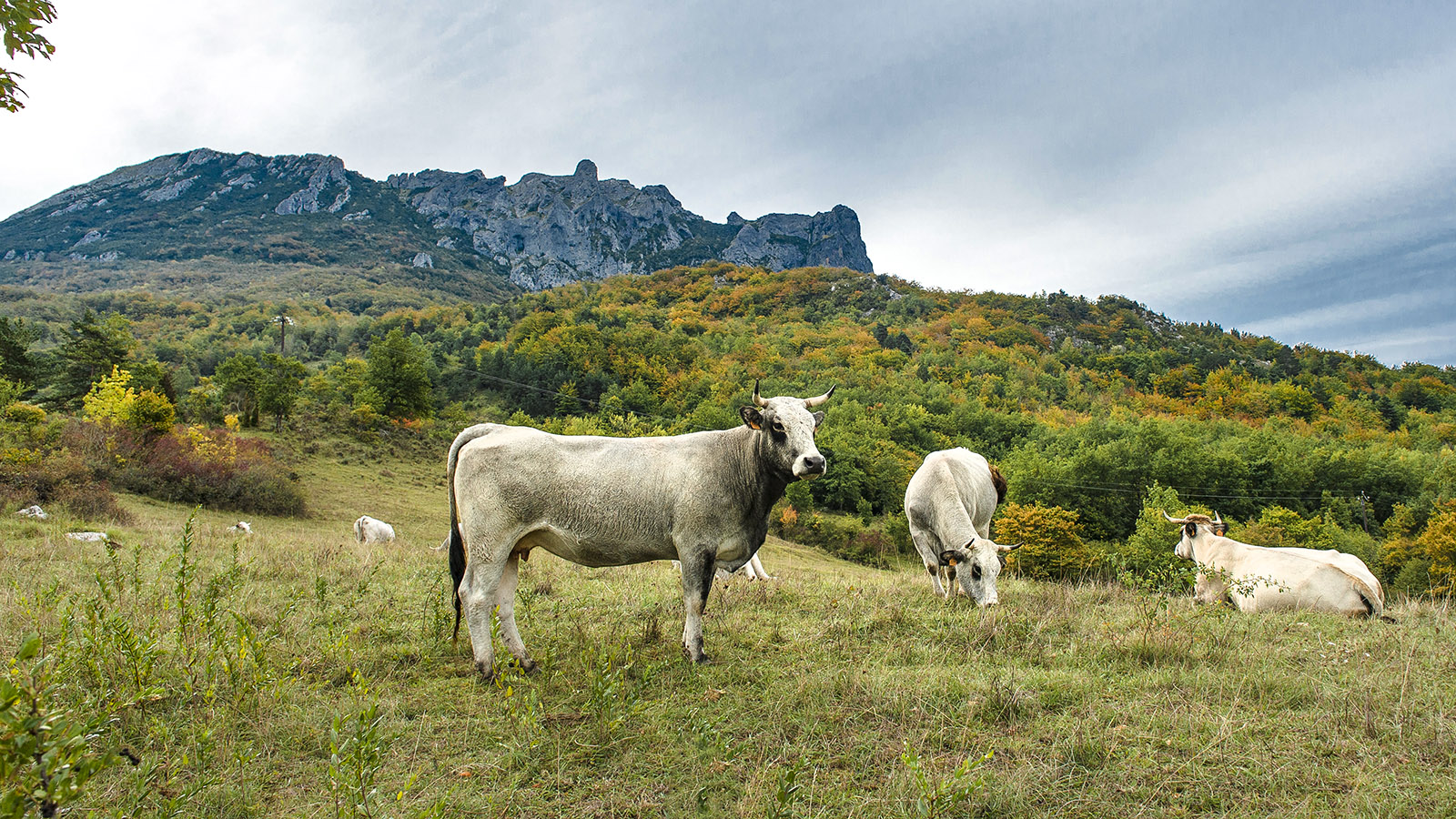 Bugarach: Kühe auf der Weide vor dem Pech de Bugarach. Foto: Hilke Maunder