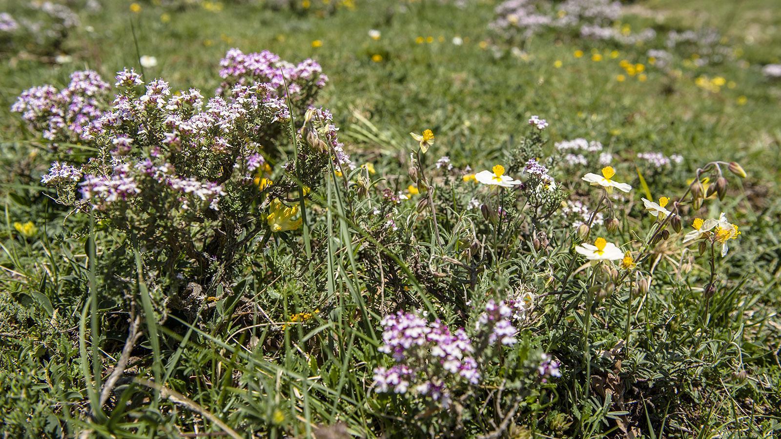 Pech de Bugarach: Im Mai blüht allerorten am Berg der Thymian. Foto: Hilke Maunder