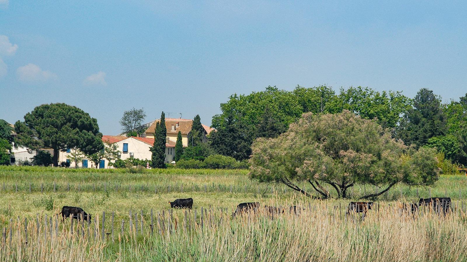 Stere: Aigues-Mortes: eine Manade am Kanal nach Le Grau-du-Roi. Foto: Hilke Maunder