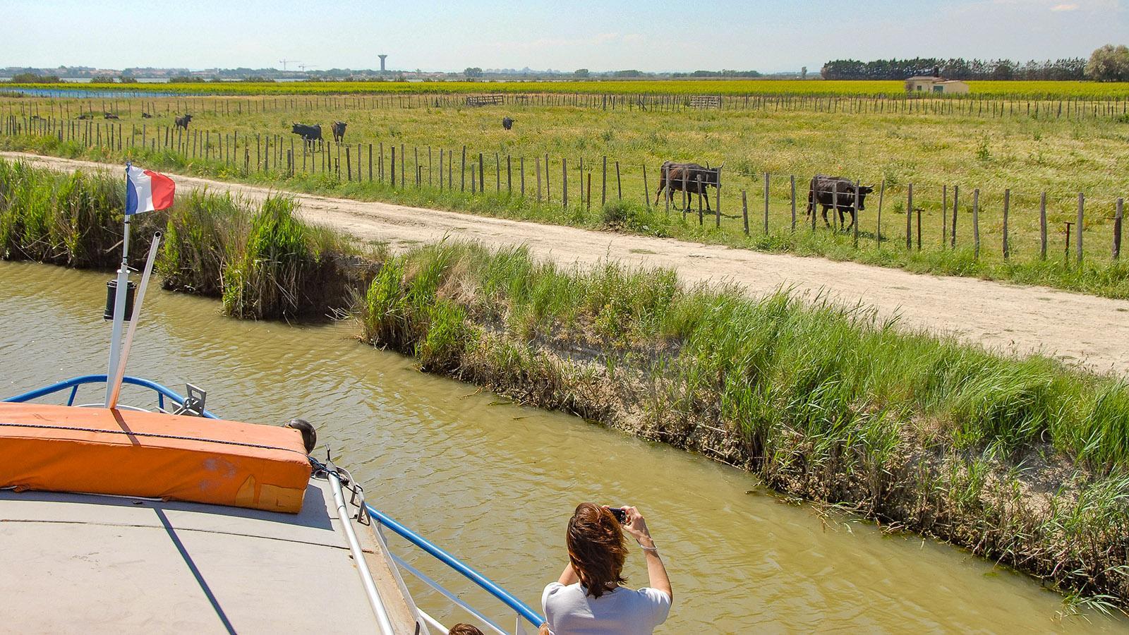 Schwarze Stier am Kanal: Bei einer Bootsfahrt ab Aigues-Mortes könnt ihr sie sehen. Foto: Hilke Maunder