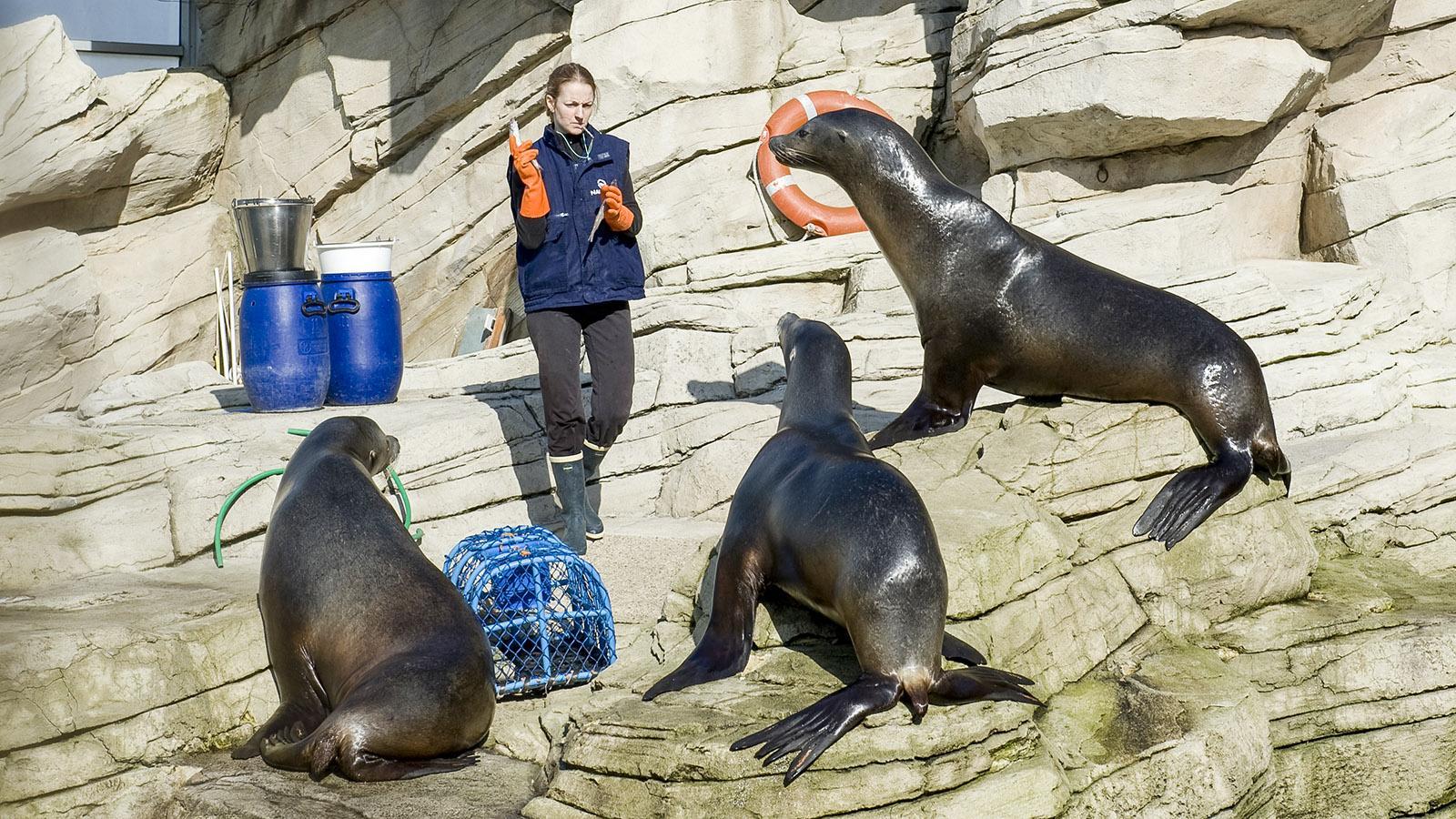 Nausicaa: Die Fütterung der Seelöwen. Foto: Hilke Maunder