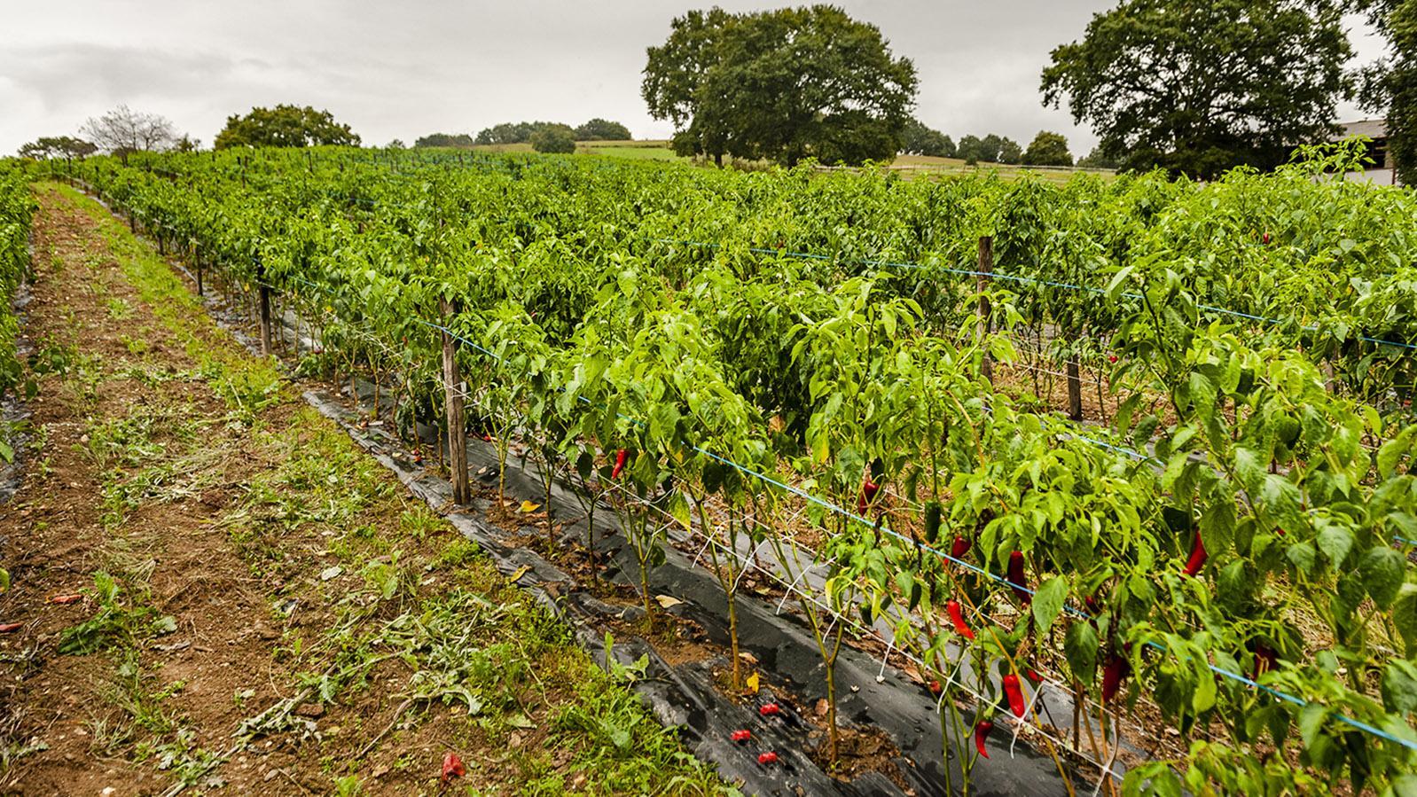 Ein Piment d'Espelette-Feld kurz vor der Ernte im Oktober. Foto: Hilke Maunder