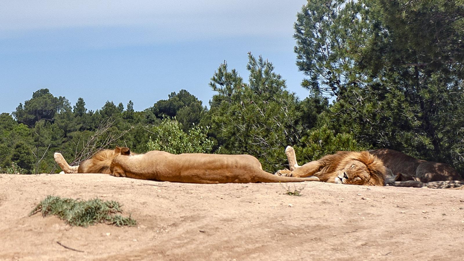 Safaripark Sigean: Löwen . Foto. Hilke Maunder