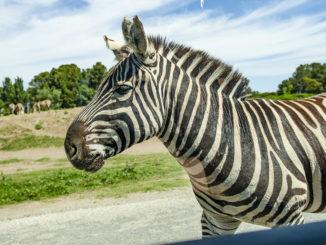 Safaripark Sigean: Zebra. Foto. Hilke Maunder