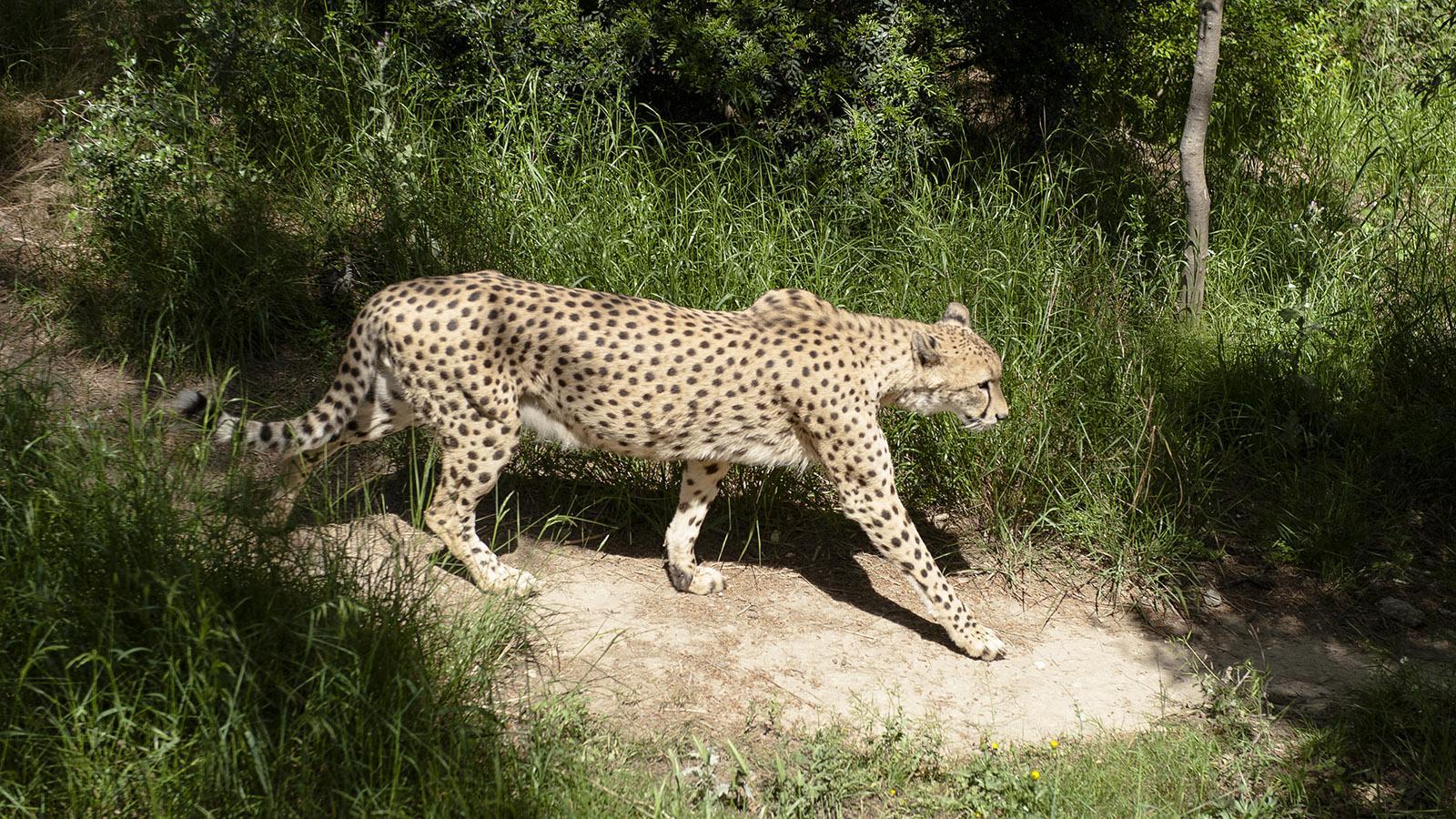 Safaripark Sigean: Gepard . Foto. Hilke Maunder