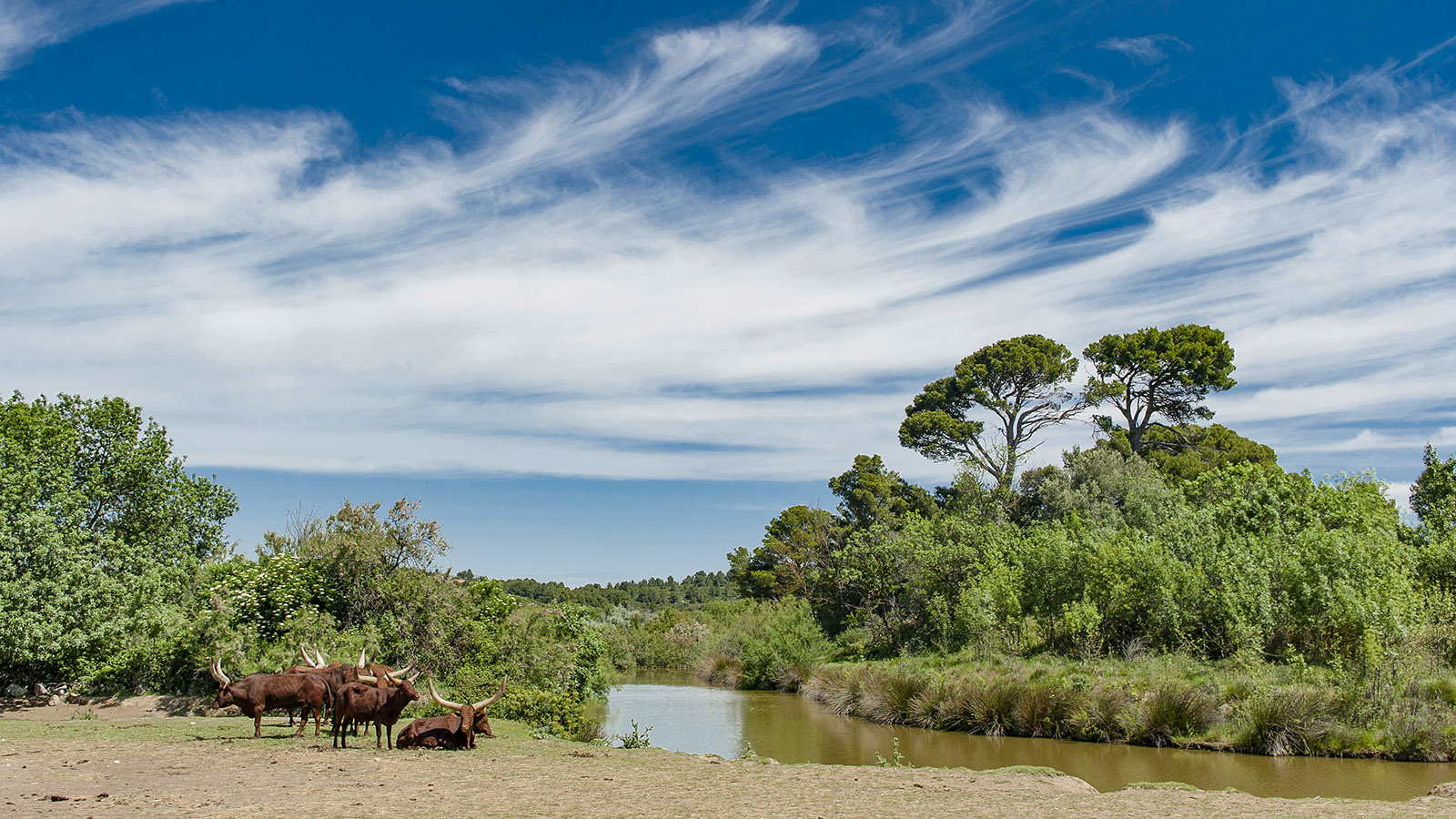 Safaripark Sigean: Watussi-Rinder. Foto. Hilke Maunder