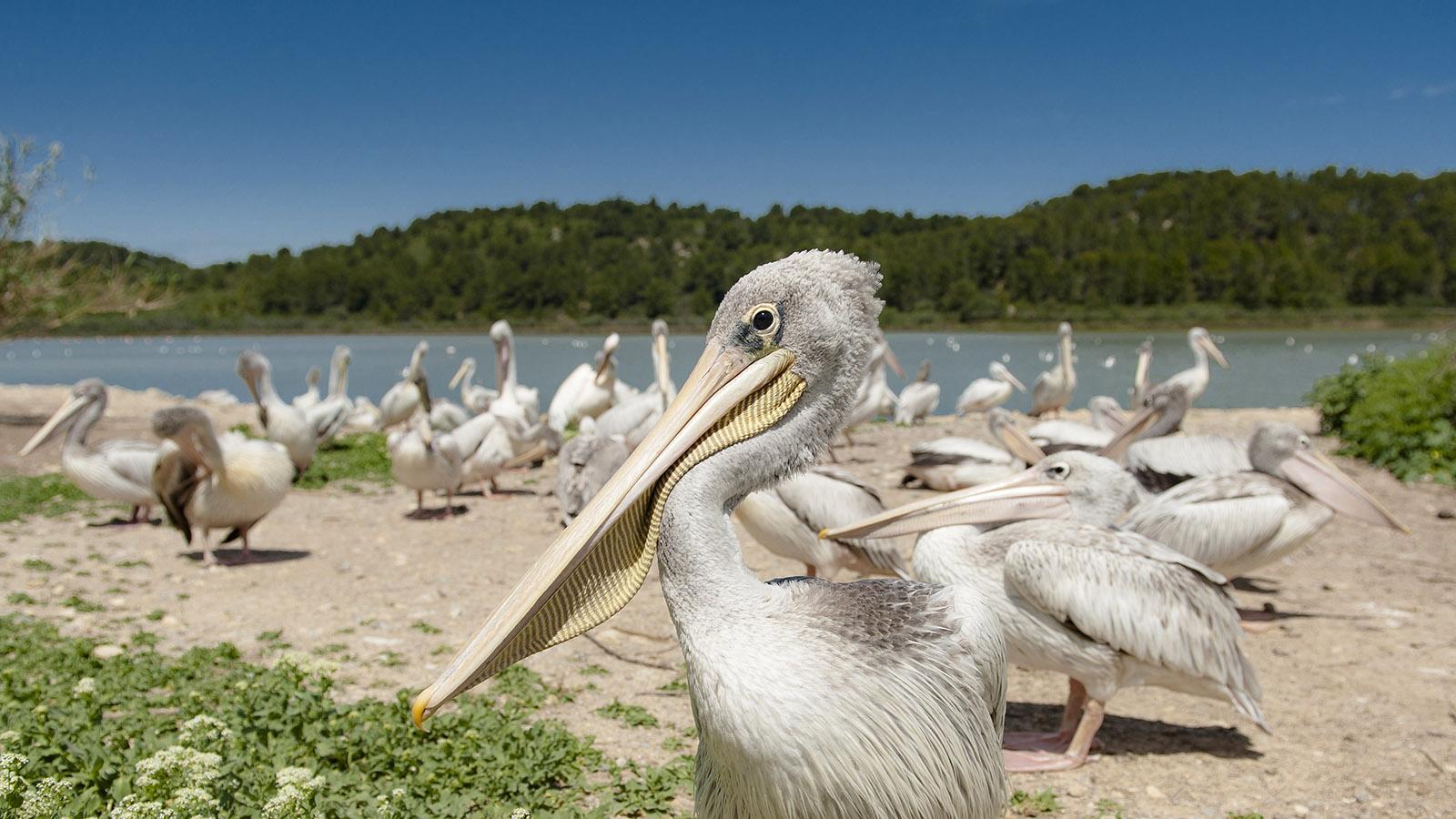 Safaripark Sigean: Pelikan Foto. Hilke Maunder