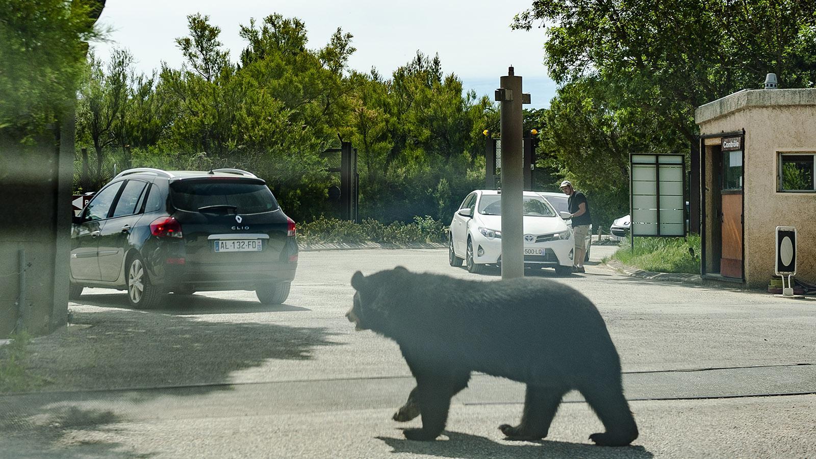 Safaripark Sigean: Bär. Foto. Hilke Maunder