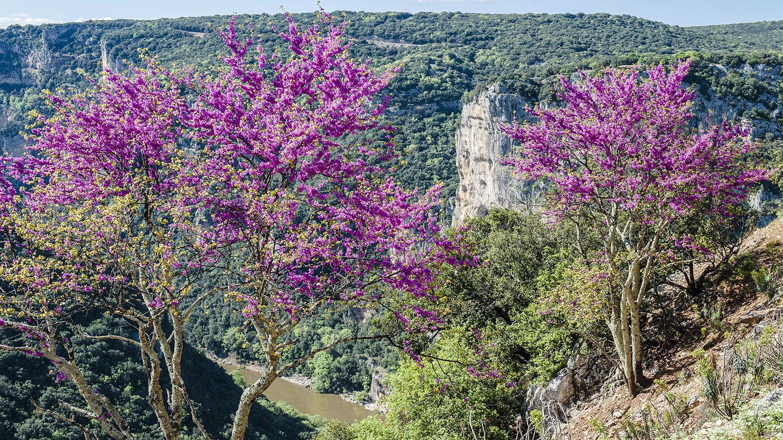 Ein Blütentraum in den Schluchten der Ardèche. Foto: Hilke Maunder