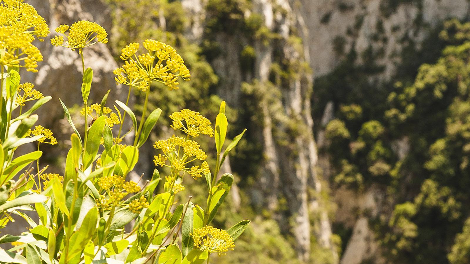 Gorges de Galamus: Pflanzen krallen sich an den Fels. Foto: Hilke Maunder