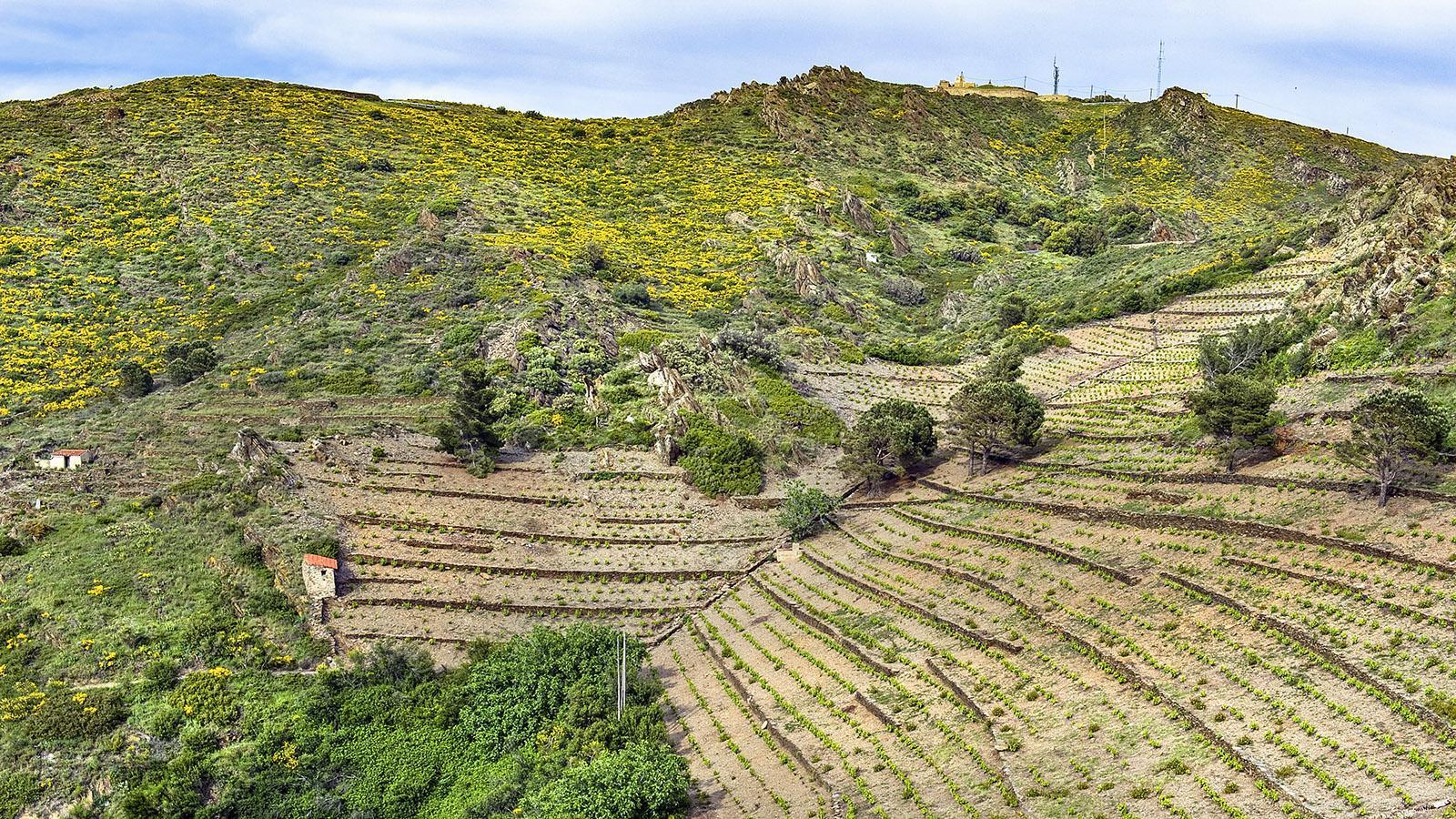 Oberhalb von Paulilles wird an steilen Hängen Wein angebaut. Foto: Hilke Maunder