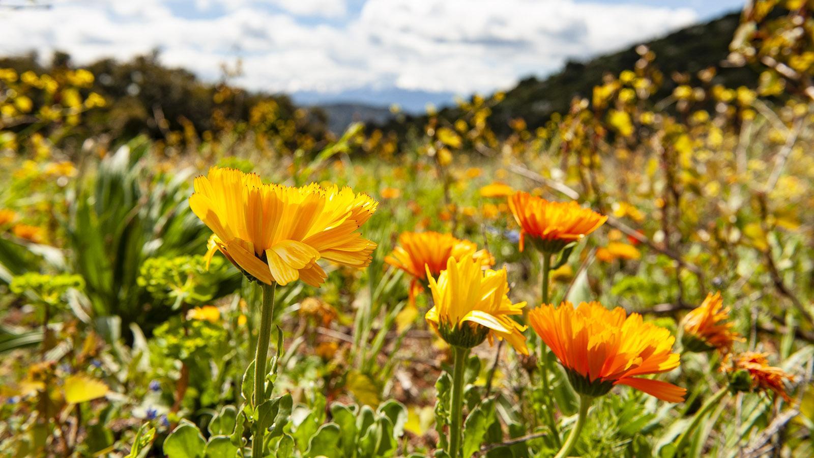 Sentier Cathare: Blumenwiese unterhalb der Burg Quéribus. Foto: Hilke Maunder
