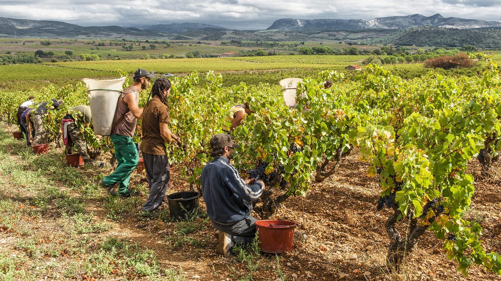 Bereits Ende August beginnt die Weinlese im Vallée de l'Agly. Foto: Hilke Maunder