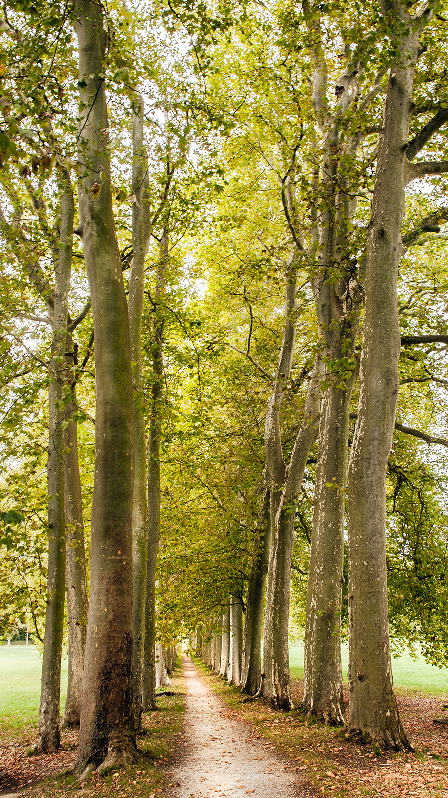 Canal du Midi: 62 Platanen, alle mehr als 40 m hoch, schmücken den Park an der Écluse de l'Océan. Foto: Hilke Maunder