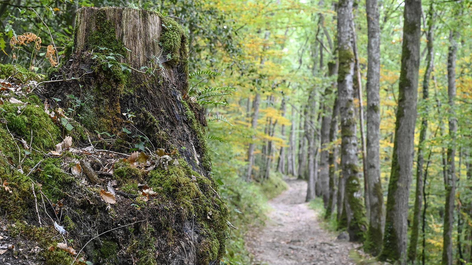 Laubbäume wie Linde, Buche und Eiche prägen die Wälder der Normannischen Schweiz. Foto: Hilke Maunder