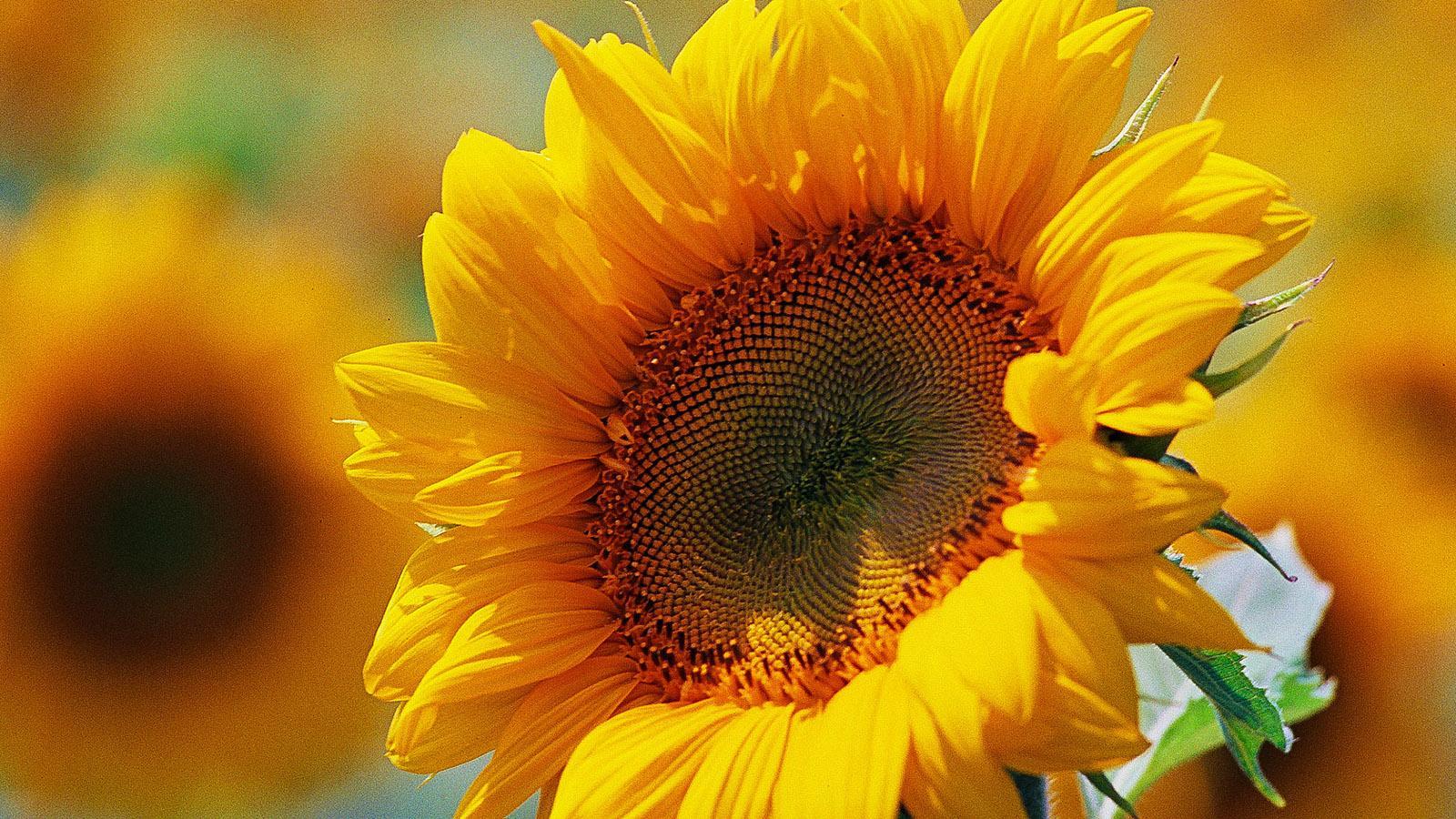 Im August blühen die Sonnenblumen am Canal du Midi. Foto: Hilke Maunder