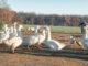 Gänse im Freilauf beim Foie-Gras-Hersteller Ramajo. Foto: Hilke Maunder