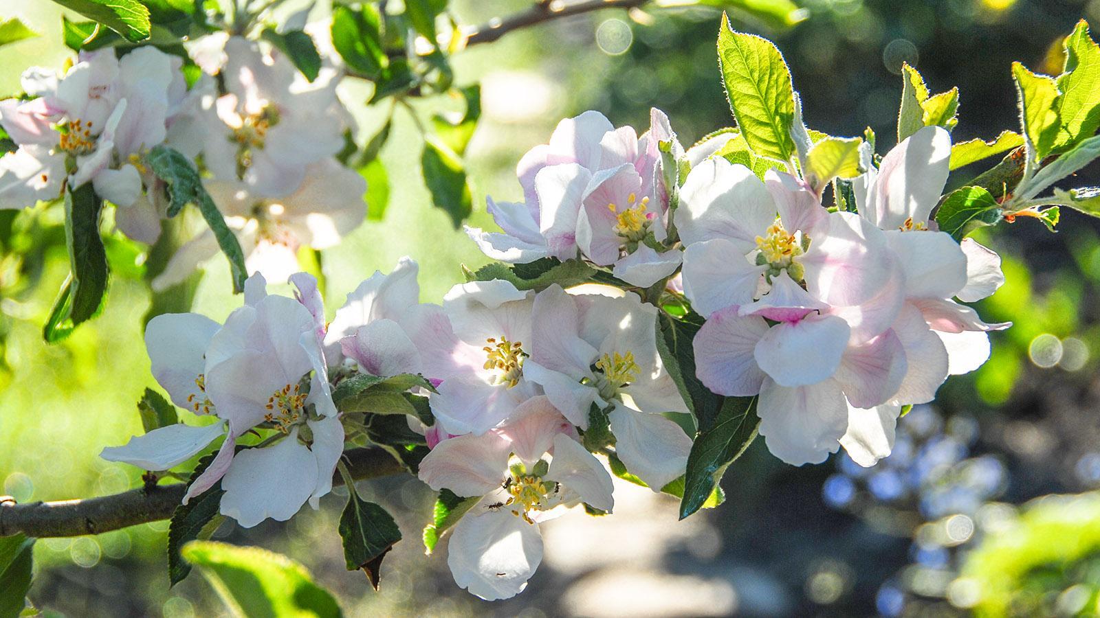 Blühende Apfelbäume. Foto: Hilke Maunder