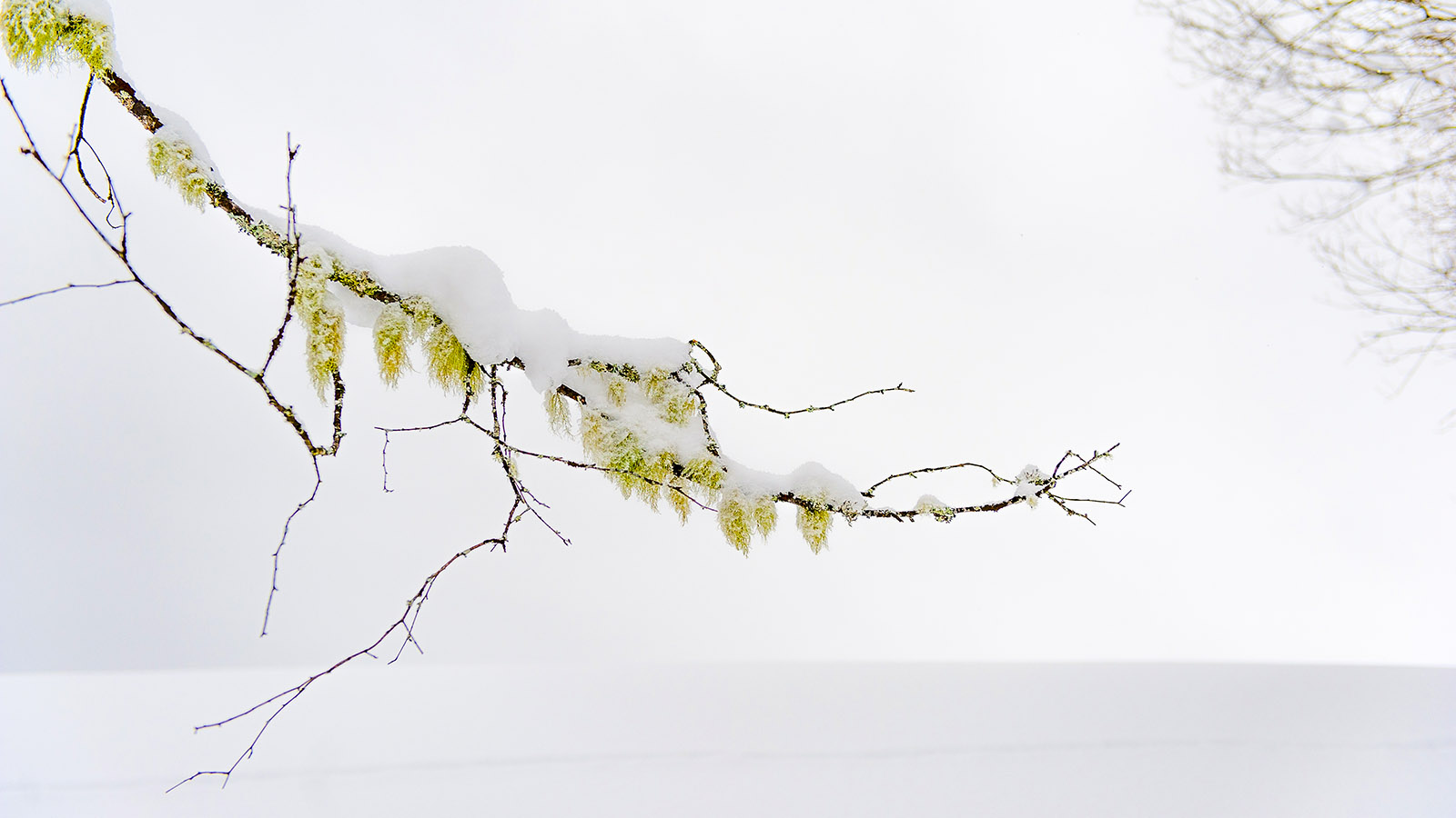 Gelb im Winterweiß: eie Hamamelis im Schnee. Foto: Hilke Maunder